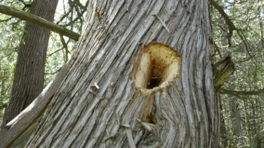 Woodpeckers have been busy excavating some of the trees.