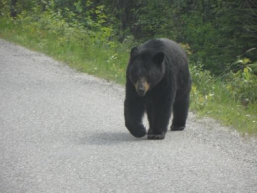 Wildlife Watching In Jasper National Park