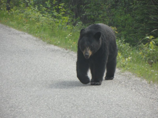 We met this one coming into the Miette Hot Springs area just passed the Sulphur Creek Bridge. It is important to not feed the wild life. They get accustomed to being near people and that makes it dangerous for both animal and human alike.
