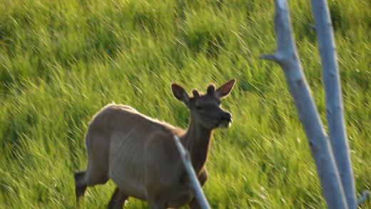 Early summer elk.