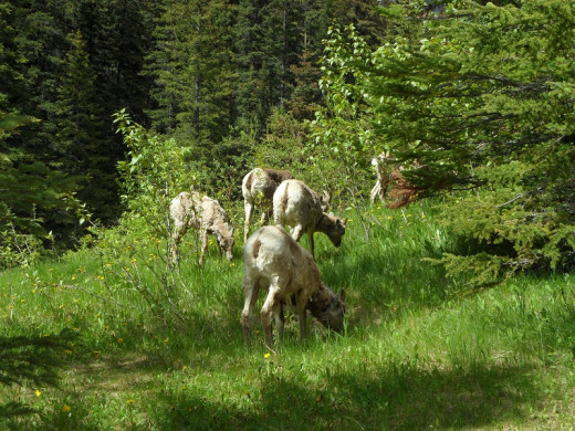 Bighorn Sheep doing what they are supposed to be doing