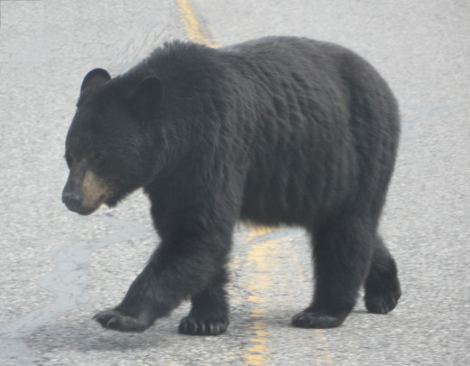 Don't Feed The Bears.... or any of the wild life you see on the road side. It just encourages them to be down on the highway and increases the chance of them getting hit in traffic
