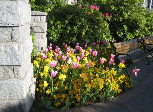 Tulips are tucked into a small plot along Government Street in front of the Empress Hotel.