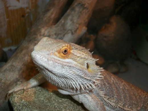 Bearded Dragon photo Flames smiling for the camera