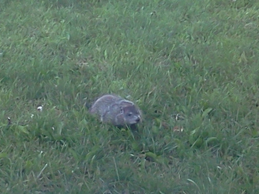 One of the groundhogs that invaded my garden
