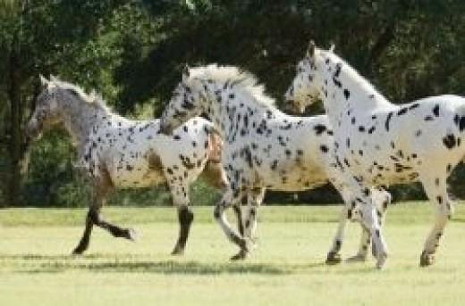 Rare Unusual And Beautiful Horse Breeds Pethelpful