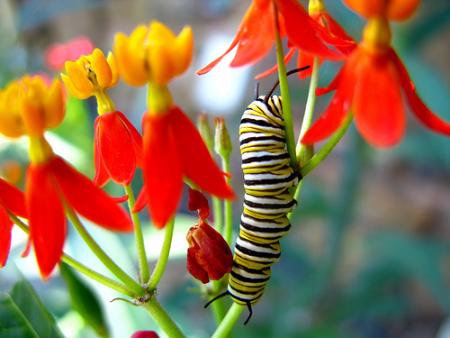 Monarch Caterpillar on Butterflyweed. Photo by OakleyOriginals.
