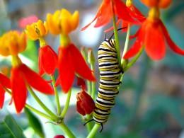 Monarch Caterpillar on Butterflyweed. Photo by OakleyOriginals.