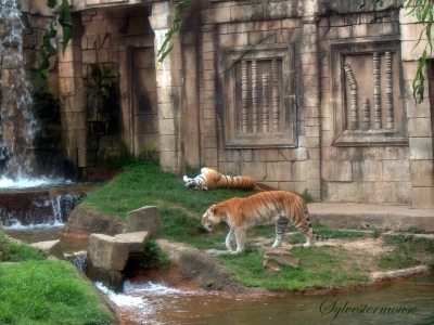 Tigers in Cat Country at the Memphis Zoo