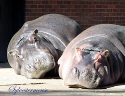 Hippos at the Memphis Zoo