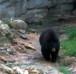 Black Bear at the Memphis Zoo