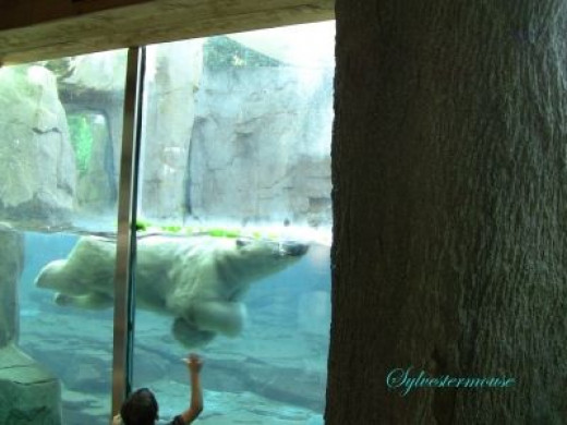 You Knew I Would Show You The Polar Bear Viewing Area ~ He's almost close enough to touch!
