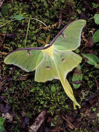Male Luna Moth By Adam Jones
