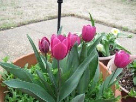 Tulip Photo by Sylvestermouse