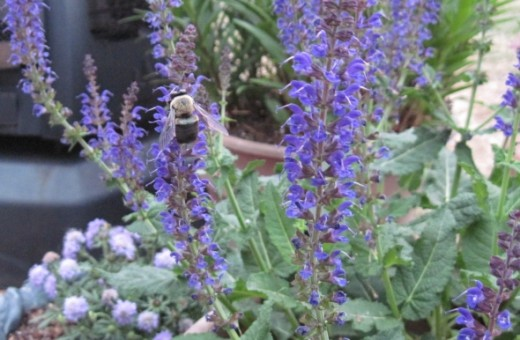 I love big bumble bees and bumble bees love salvia.  Therefore, I have lots of salvia!East Friesland Salvia ~ Blooms spring, summer and fall ~ plant in full sun Note:  This plant is so large, it requires a pot of it's own :)