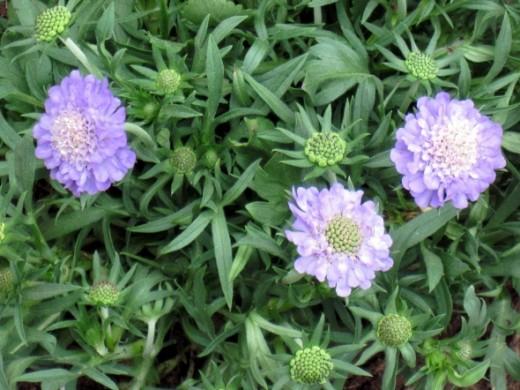 Ritz Blue Pincushion Flower ~ Blooms late spring - summer ~ plant in full sun