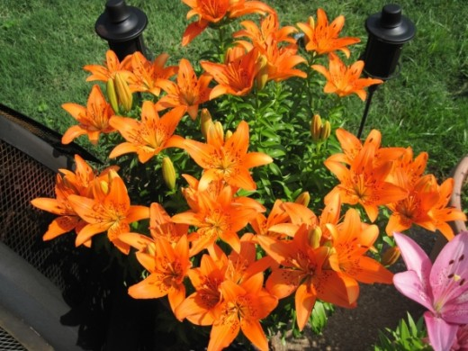 Daylily ~ Blooms spring and summer ~ plant in full sun Note:  Daylilies are so large, they requires a pot of it's own and will fill whatever size pot you choose :)