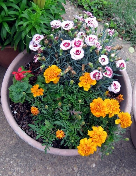 Dwarf Marigold (yellow), Raspberry Surprise Dianthus, and Salvia ~ all will bloom in spring, summer and fall ~ all planted in full sun