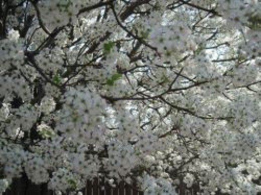 Flowering Pear Tree by Sylvestermouse