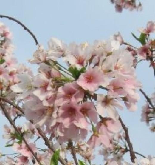 Yoshino Cherry Tree by Sylvestermouse