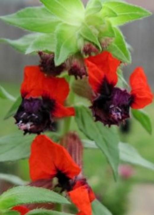 Bat Plant in the Garden of Sylvestermouse