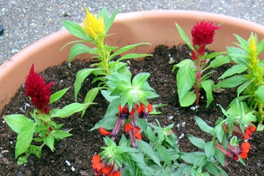 We added these Celosia plants to our pot with the Bat PlantCelosia ~ Blooms spring, summer and fall ~ Plant in full sun.