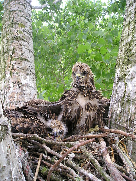 Two nestlings of Red Kite