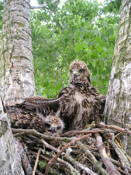 Two nestlings of Red Kite