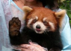 Hangin' With A Red Panda