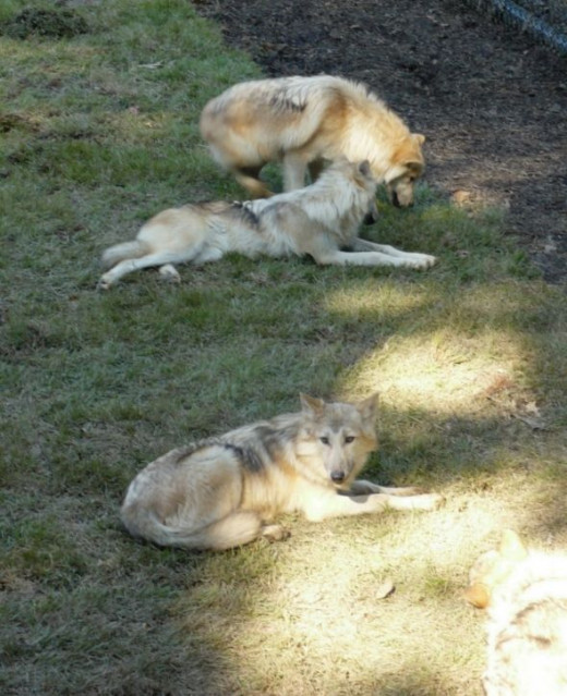 Gray Wolves ~  Teton Trek at the Memphis Zoo