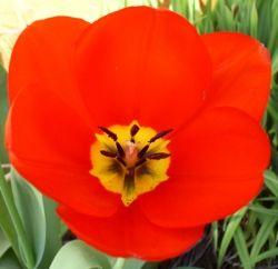 red poppy garden plant