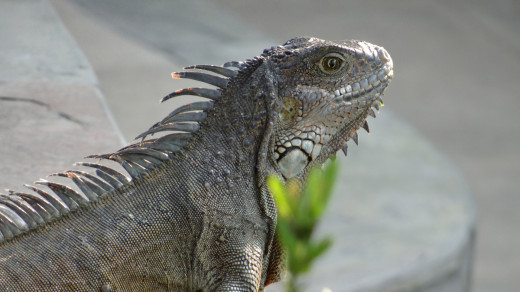Pet iguana - common green land variety