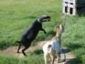 Nigerian Dwarf Goats - Cute and Friendly Miniature Goats
