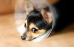 Prepare for your dog after spaying surgery. (Benjamin Earwicker Photo)