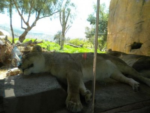 Up-close with the Lions