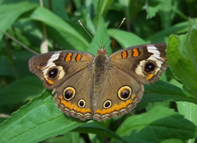 Common Buckeye Butterfly.