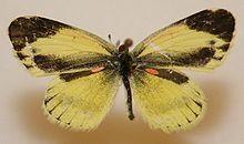 Dainty Sulphur Butterfly.