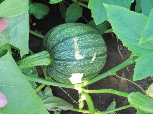 This young pumpkin is coming along nicely.