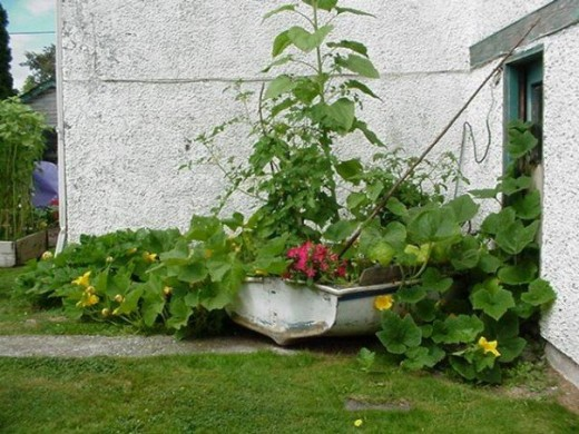 We planted this old boat with pumpkin seeds we saved from the previous year.