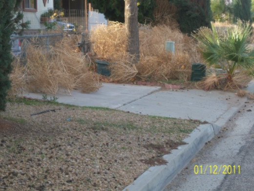 Moved enough tumbleweeds to go out the gate to the street to take pictures on my neighbor's yard. We spent all day moving the tumbleweeds to get in and out of the house.