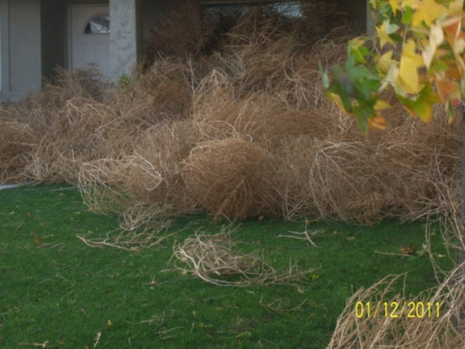 These are in the other neighbor's yard. We figured out that they came here first and then, climbed over each other to create the mass in our yard. There is a small opening between her porch and our mulberry tree. Did you know that tumbleweeds could c