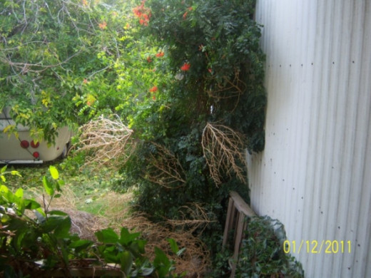 So, you are wondering what you are looking at. This is the honeysuckle that the tumbleweeds decided to decorate (after all, it is Christmas time) Everything in the backyard is overgrown and you can almost see the trailer under the mulberry that refu