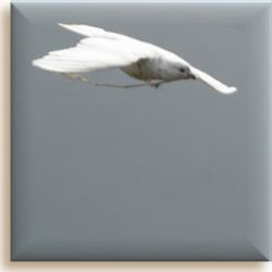 a flying white dove with a twig by lcg2001