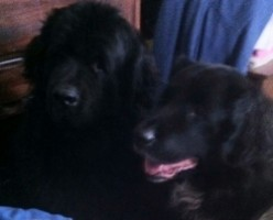 Newfoundland Dog - Why I Chose This Breed