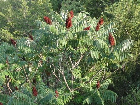 This is another form of fall sumac.
