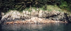 A seal sunning himself, somewhere in Prince William Sound