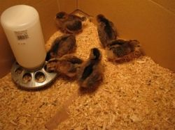 Baby Chicks in first few weeks