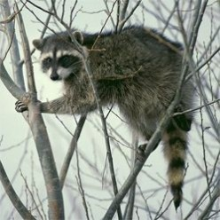 Raccoons: Loved or hated - hard to ignore