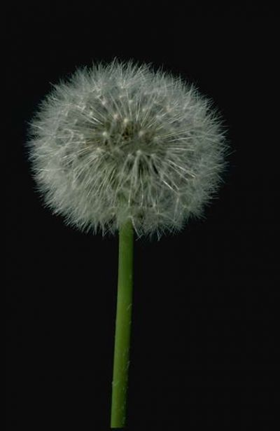 Most people have a hard time seeing the beauty of dandelions. They have a nice flower, when they seed they add interest