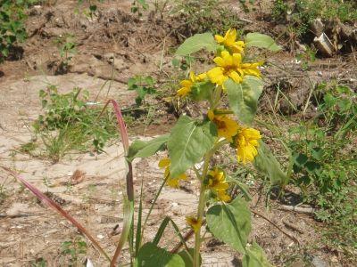 An Added Bonus, sunflowers grow under the bird feeders.